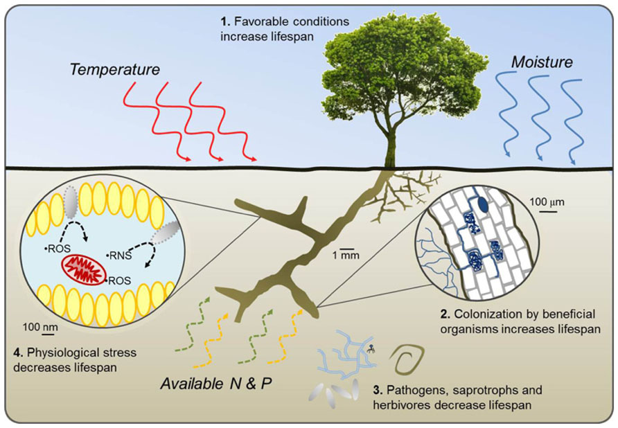 Frontiers | Impacts of environmental factors on fine root lifespan
