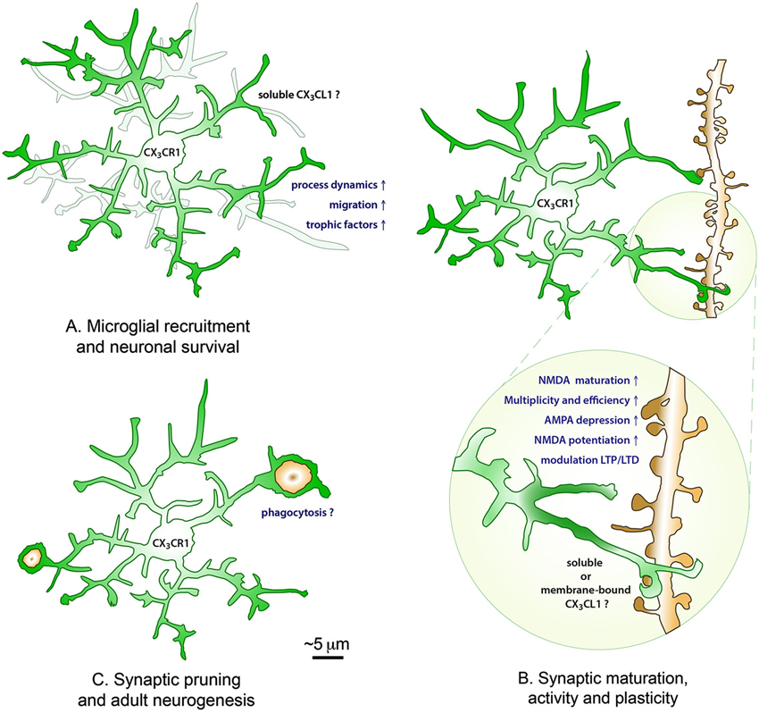 Frontiers | Fractalkine regulation of microglial physiology and ...