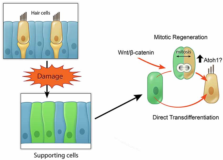 The stem cell solution for hearing loss/disabilities is replacing the missing or damaged hair cells inside the human