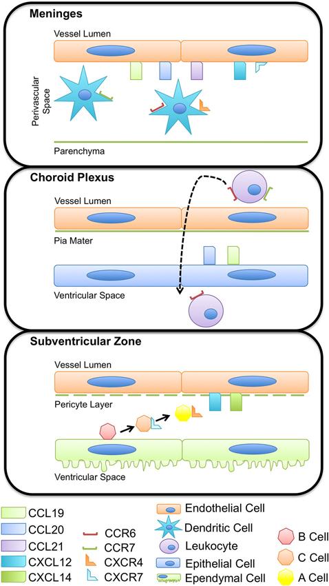 Immune Checkpoint Receptors In Regulating Immune Autos Post