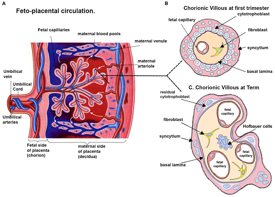 Placenta: structure, development and function 5
