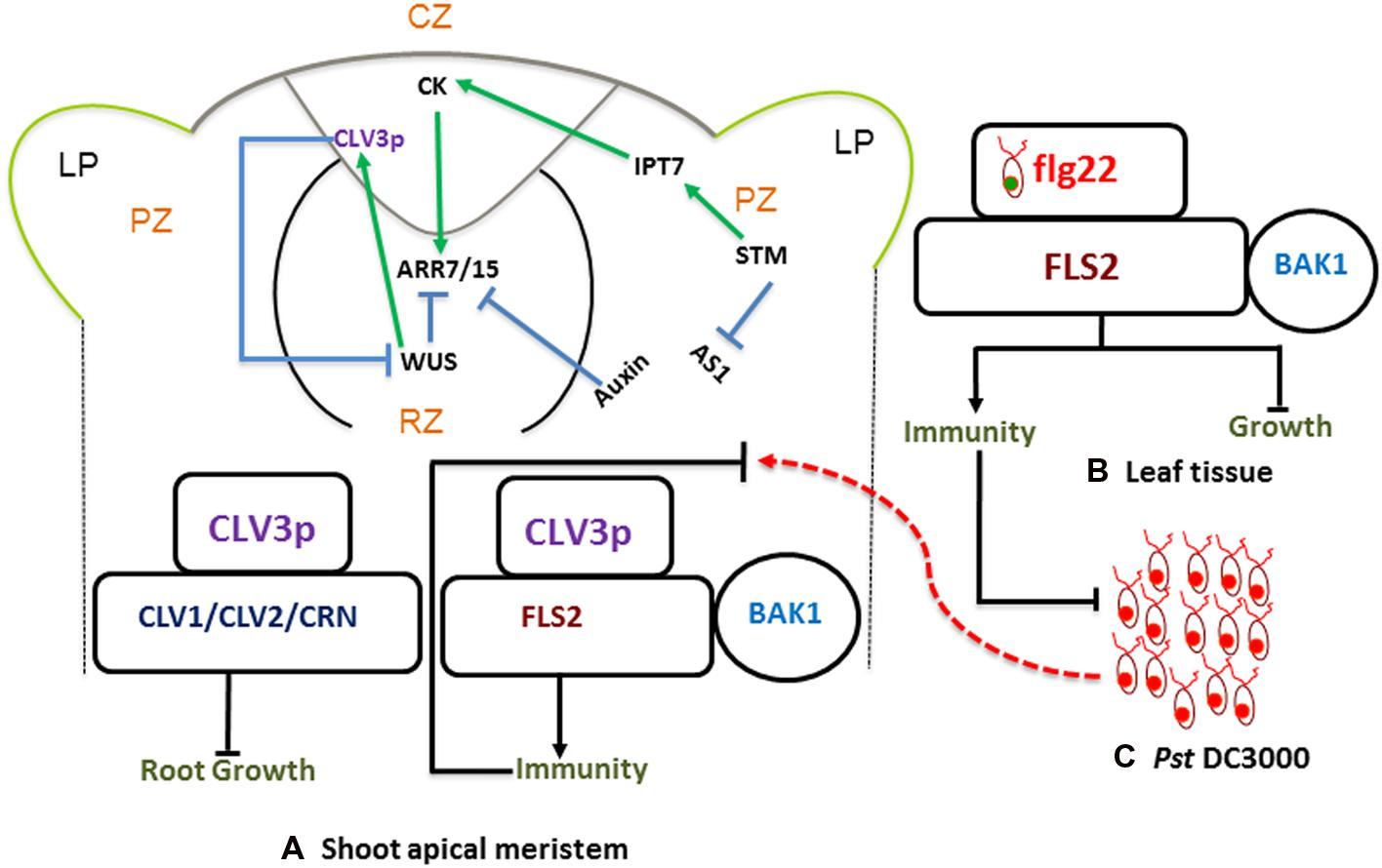 regulation of arabidopsis brassinosteroid signaling by atypical basic helix-loop-helix proteins