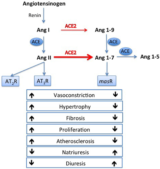 Angiotensin-Converting Enzyme 2: The First Decade