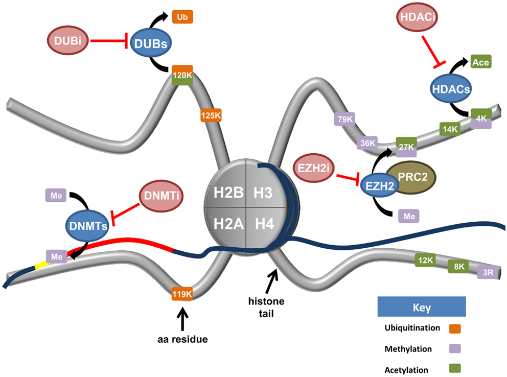 Frontiers | Histones and Their Modifications in Ovarian Cancer ...