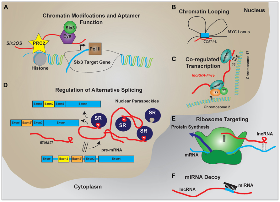 epigenetic regulation of 11 beta-hydroxysteroid dehydrogenase type 2 expression