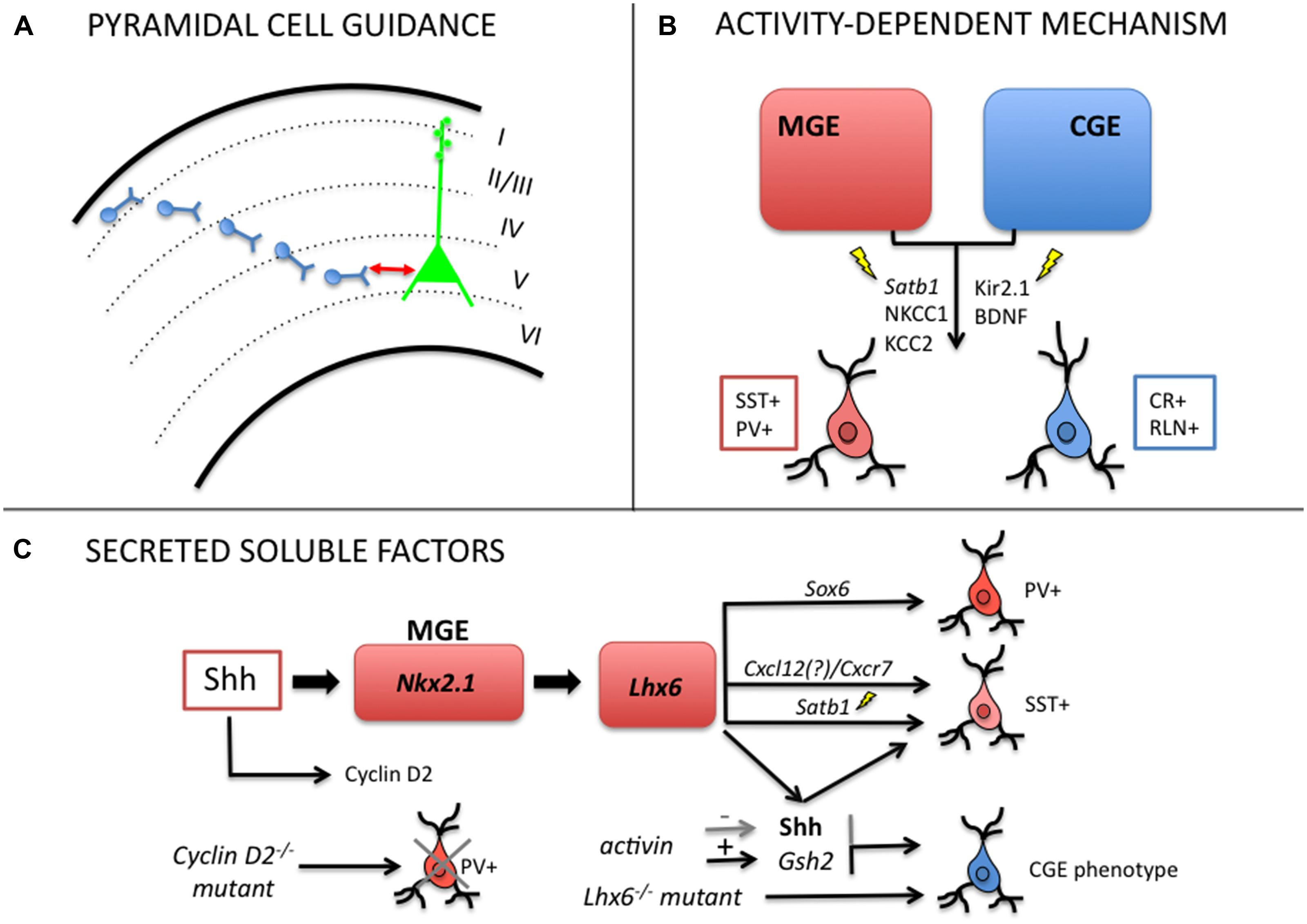 Origins Of Differentiation Via Phenotypic Plasticity Fncel G