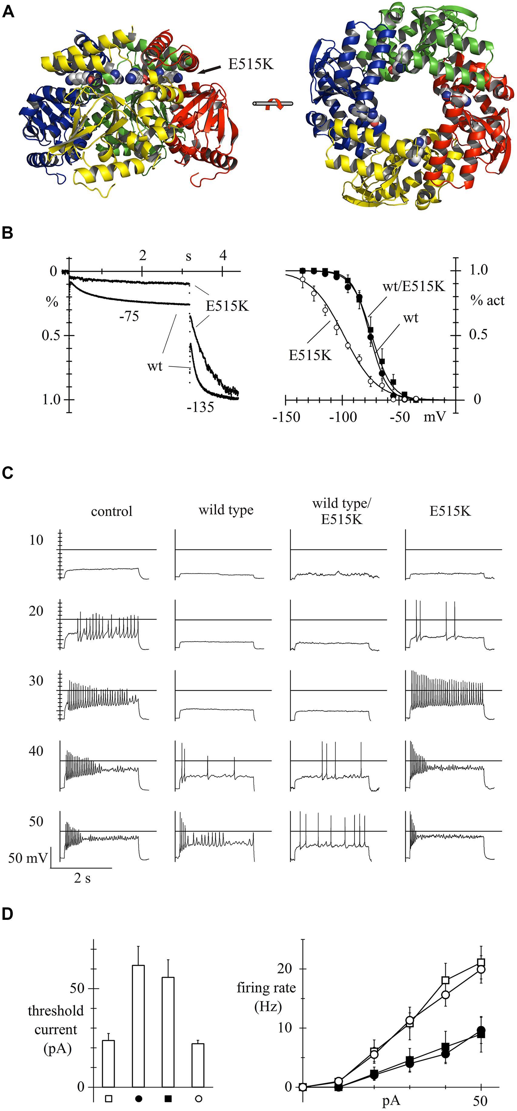 Fncel G Hcn Channels Brain