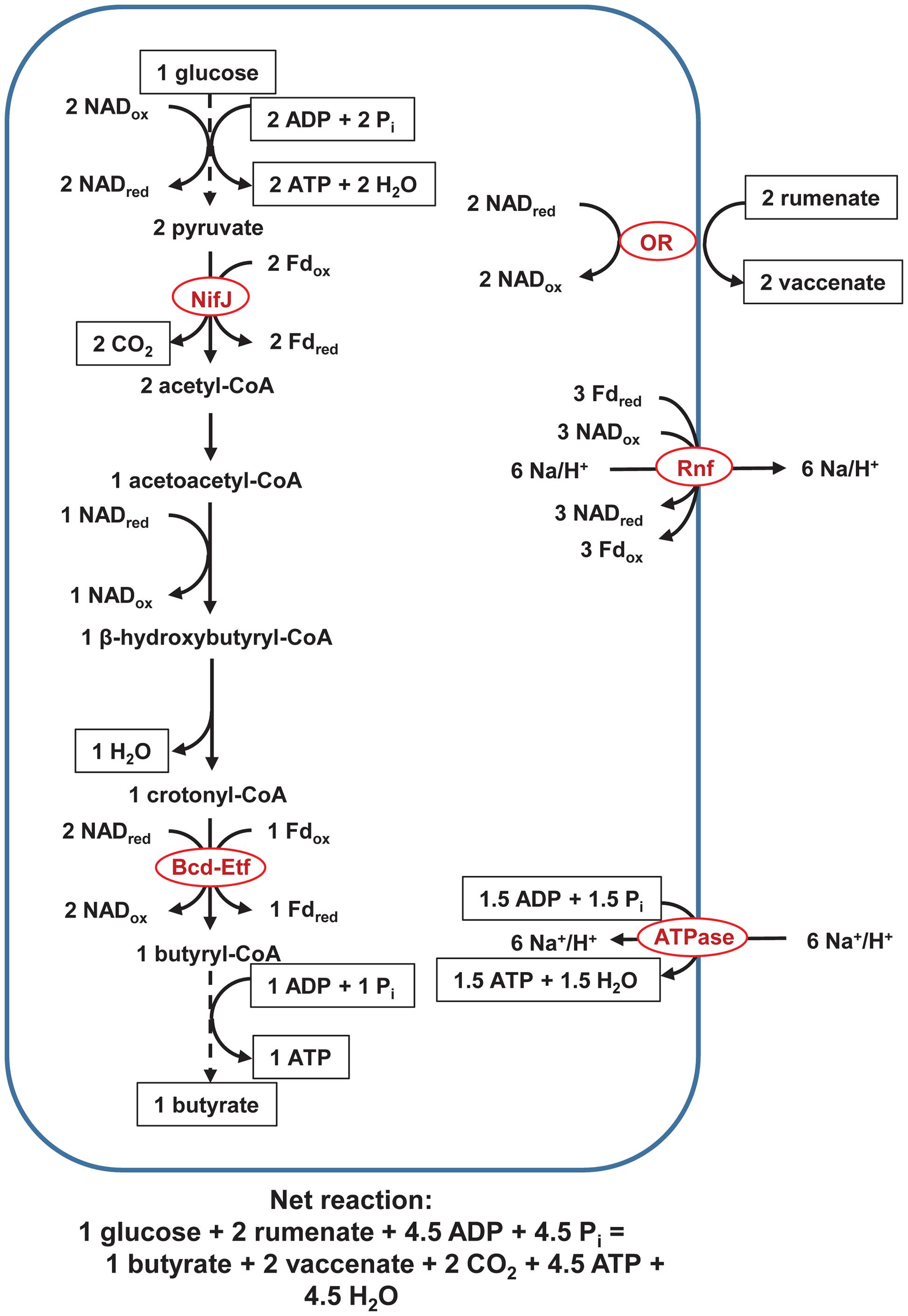 propionate tca cycle