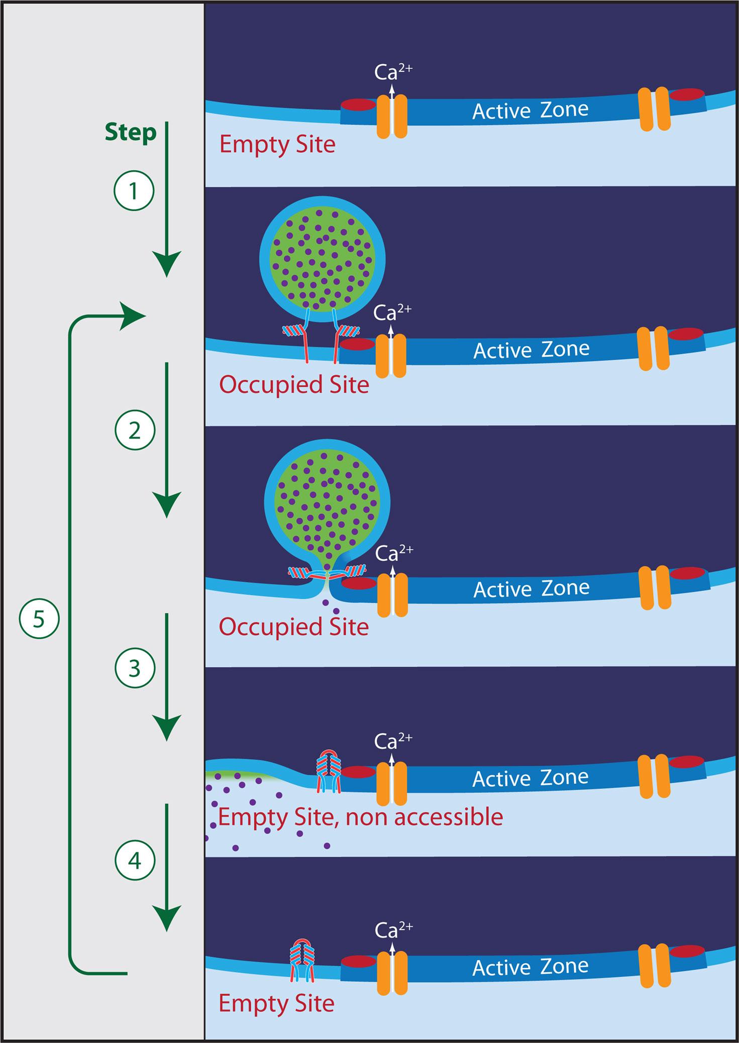 Synaptic Transmission Steps Fnsyn G