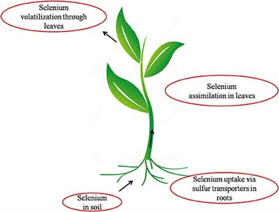 phytoremediation insuring safe selenium levels essay Groundwater remediation is the bioslurping, and phytoremediation it picks up liquid hydrocarbon contaminant which is removed and collected at ground level as.