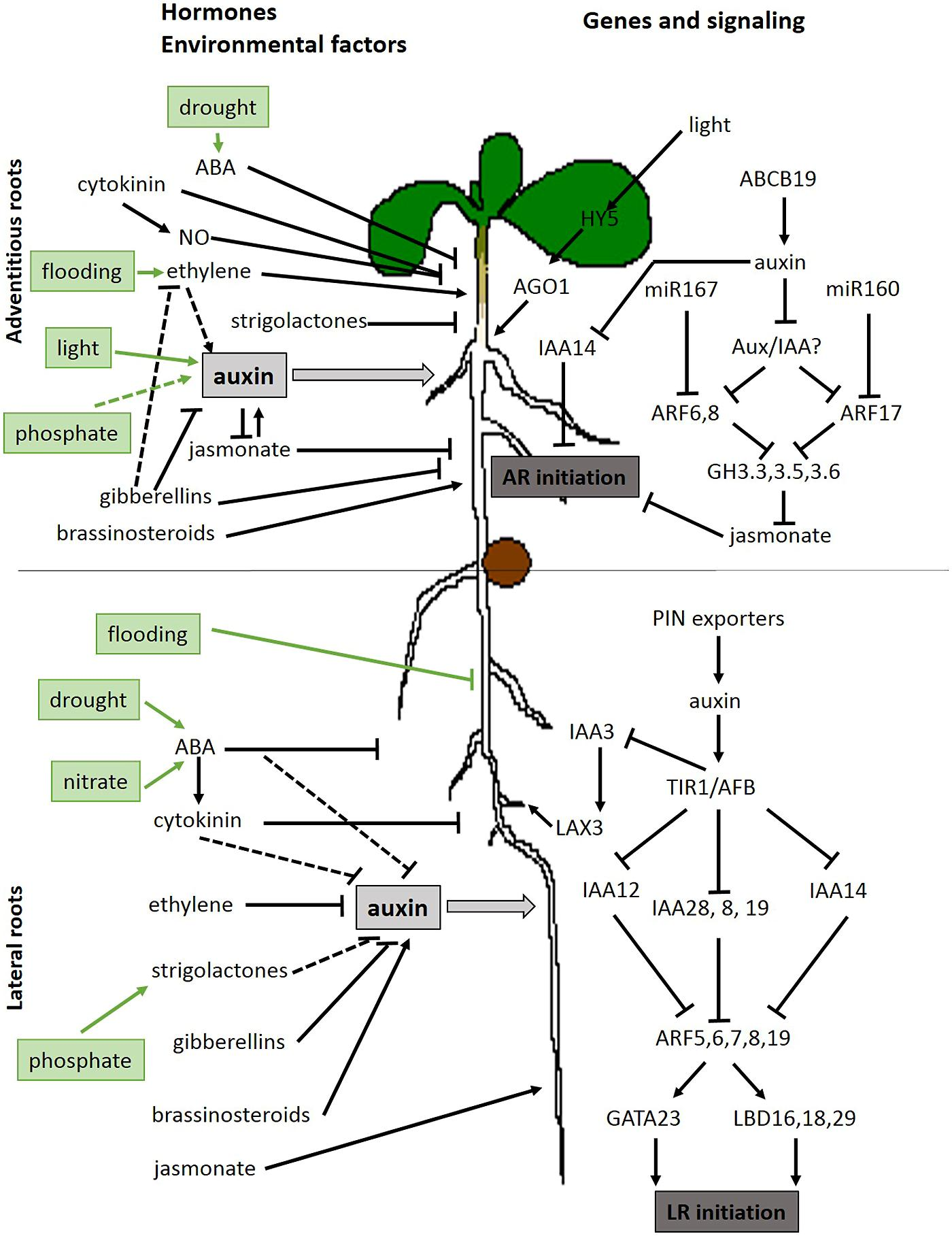 Frontiers Hypocotyl Adventitious Root Organogenesis Differs From Moreover Sunflower Anatomy Diagram On Rose Flower Life Cycle