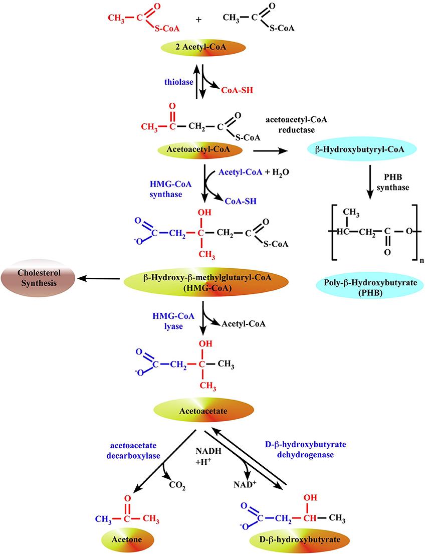 「β-hydroxybutyrate」の画像検索結果