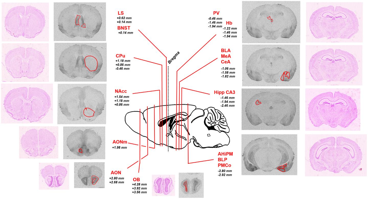 Frontiers region specific up regulation of oxytocin receptors in frontiersin fandeluxe Image collections
