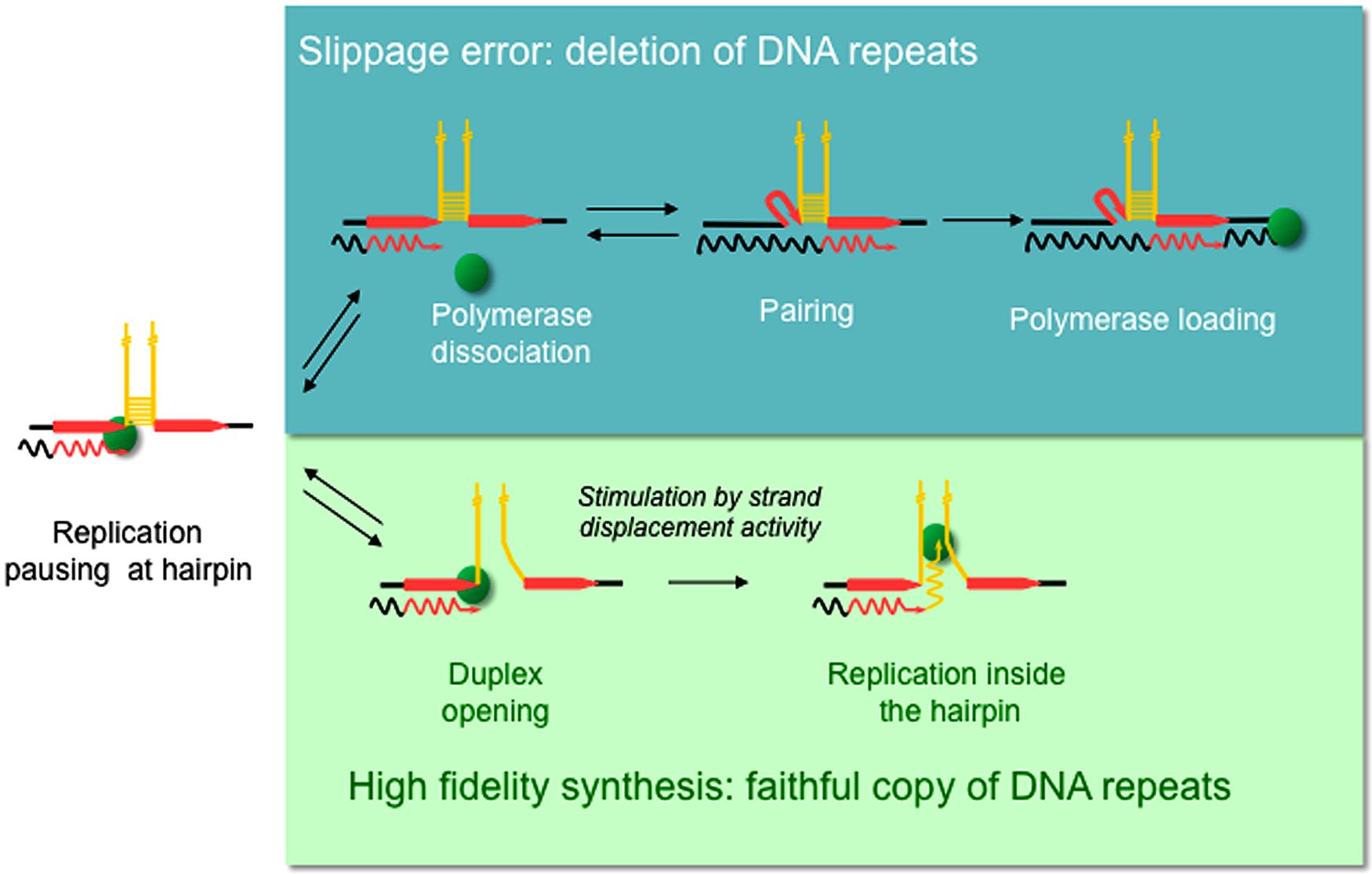 Frontiers | Replication slippage of the thermophilic DNA polymerases ...