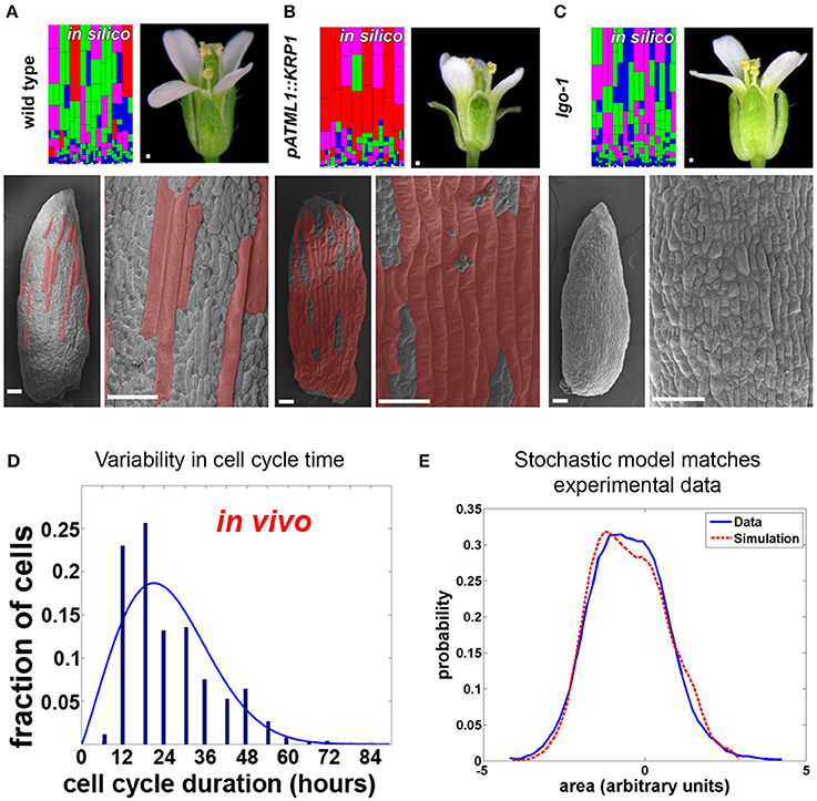 Frontiers | Stochasticity in plant cellular growth and