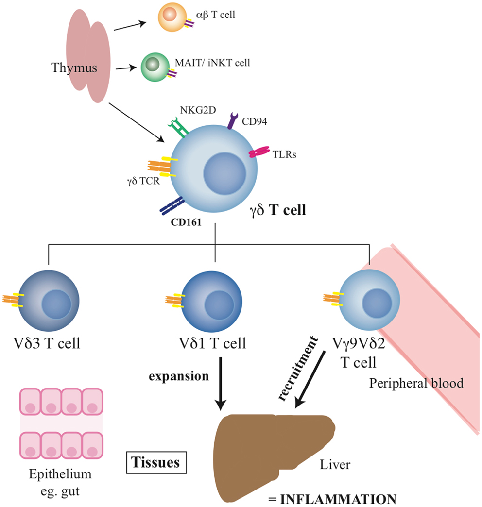 Frontiers | Gamma Delta T-lymphocytes in Hepatitis C and