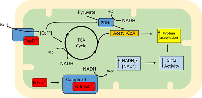 Mitochondrial protein acetylation is driven by acetyl-CoA ...
