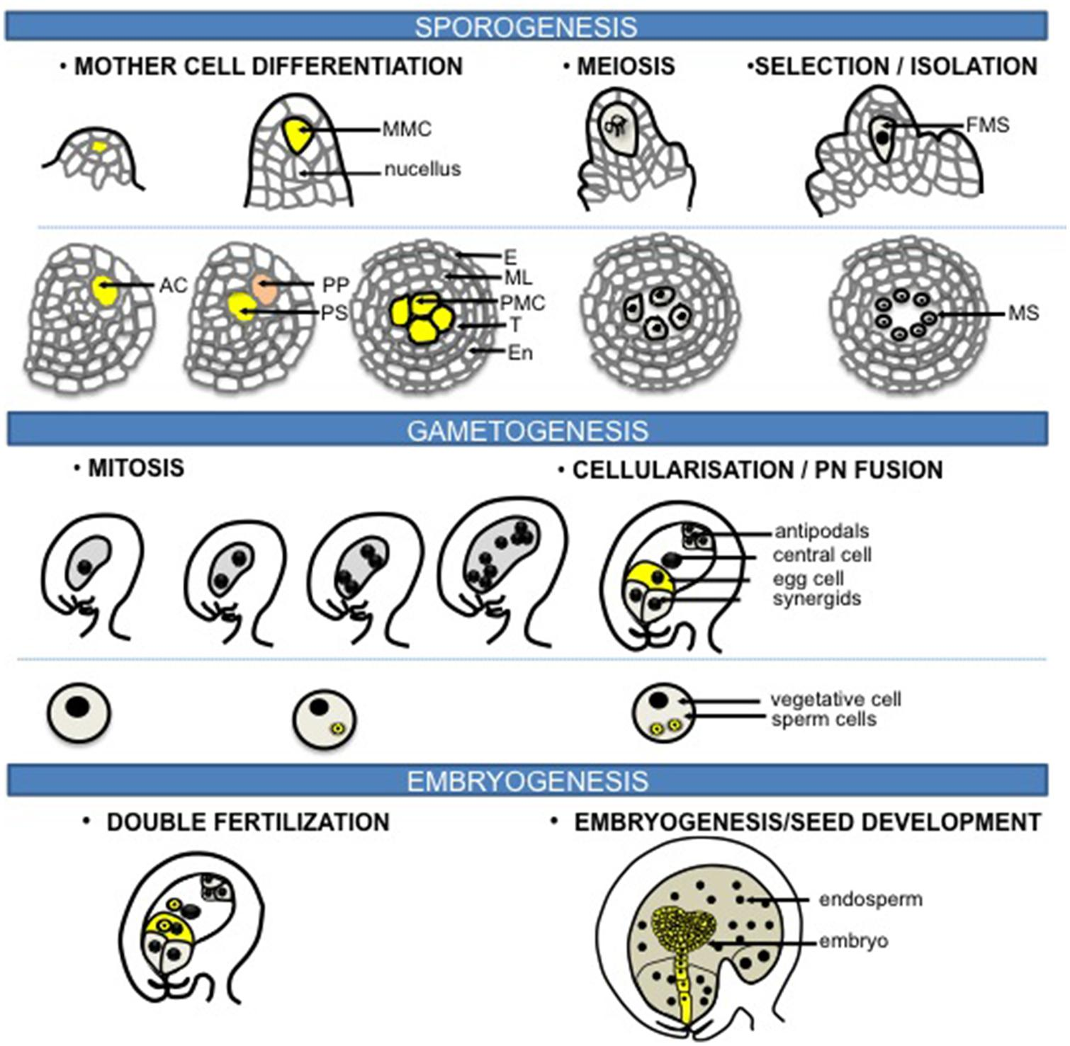 an analysis of the process of fertilization in female body After the male and female pronuclei have come into contact biochemical analysis of fertilization in the process of fertilization.