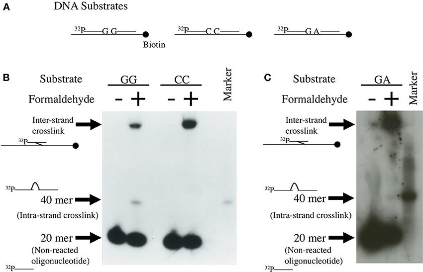 Frontiers Genotoxicity Of Formaldehyde Molecular Basis Of Dna