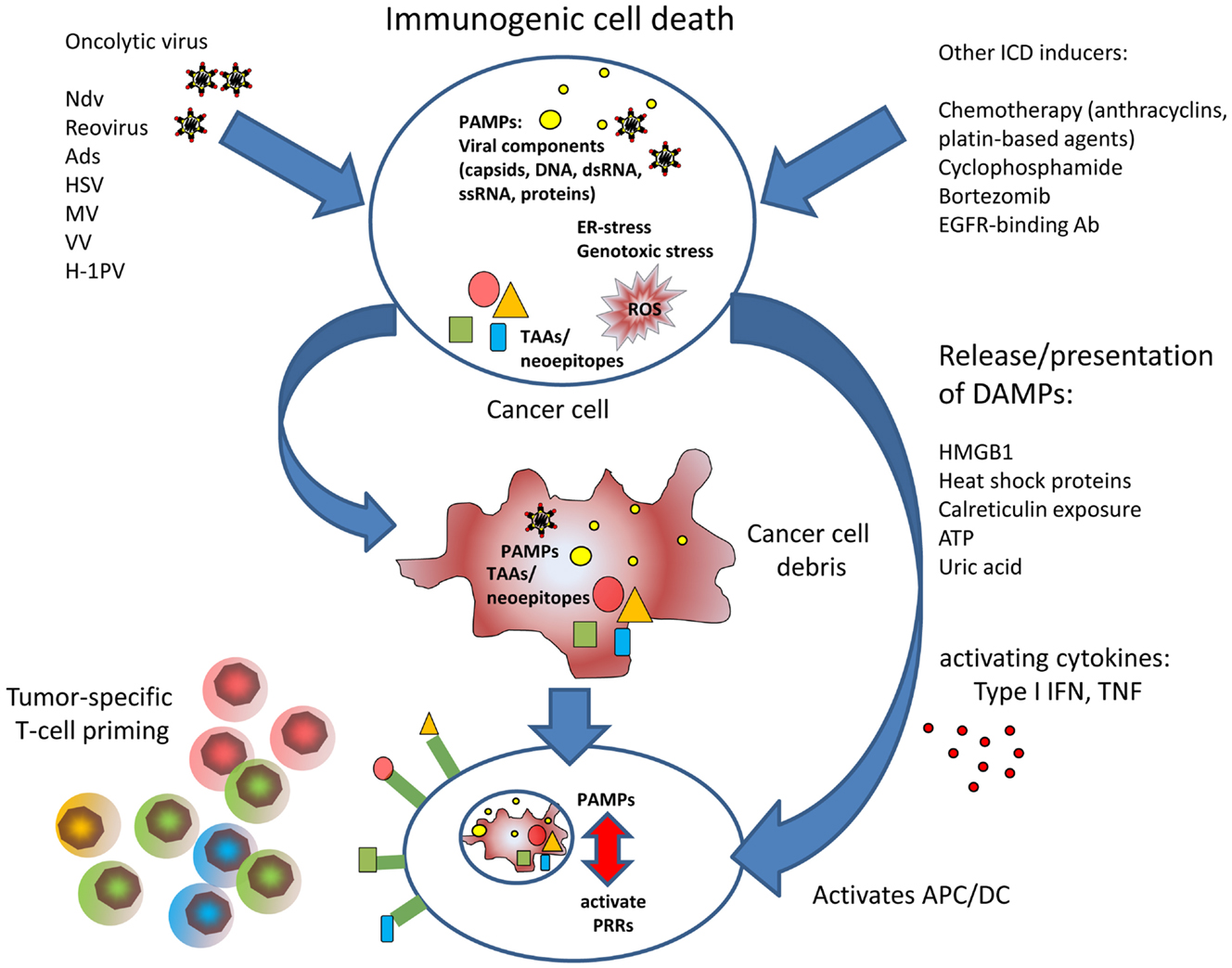 Frontiers Oncolytic Viruses As Anticancer Vaccines