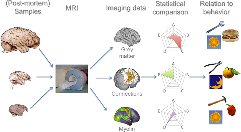 Frontiers   Primate comparative neuroscience using magnetic ...