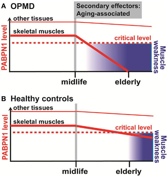the aging musculoskeletal system The aging muscle, skeletal and integumentary systems the aging muscle, skeletal the aging sensory system the aging circulatory and.