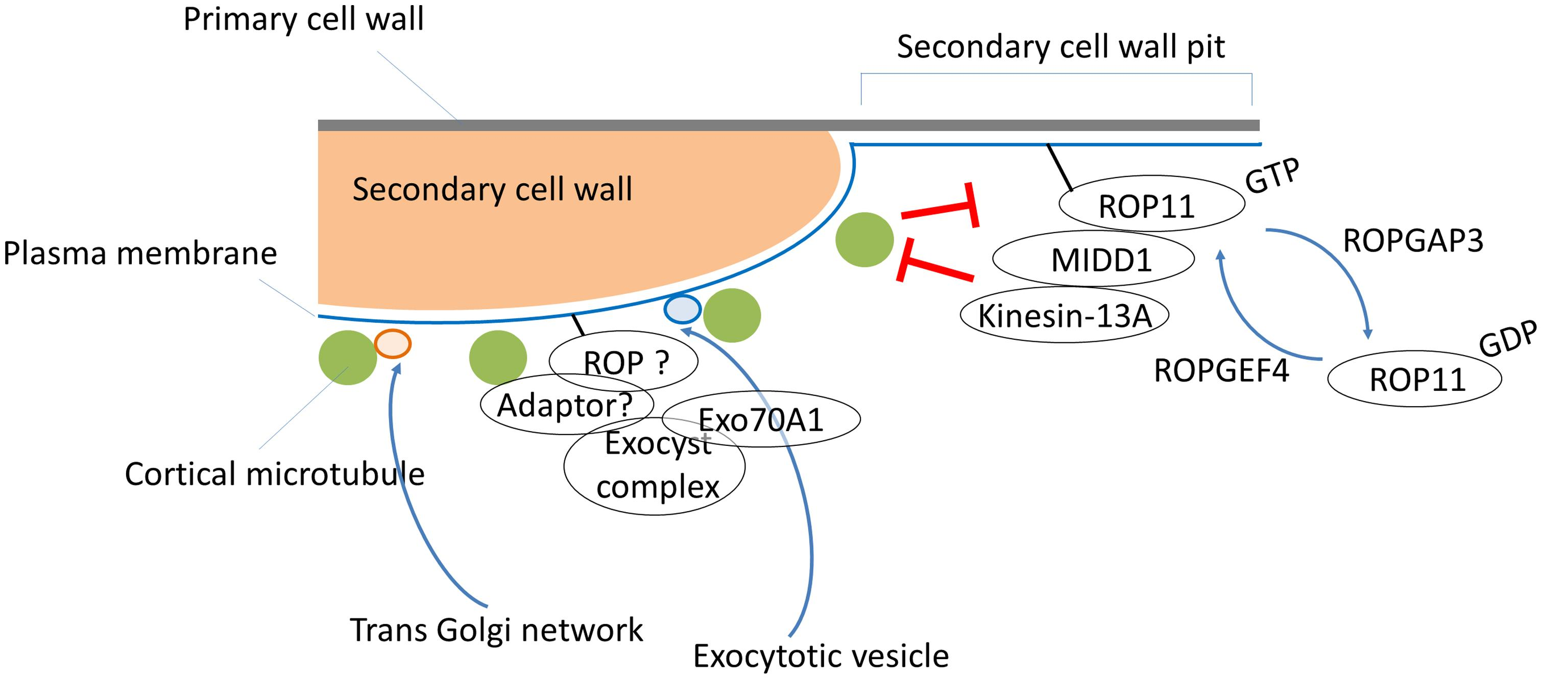 Frontiers Emerging Roles Of Small Gtpases In Secondary Cell Wall Model Further Simple Plant Diagram On Animal