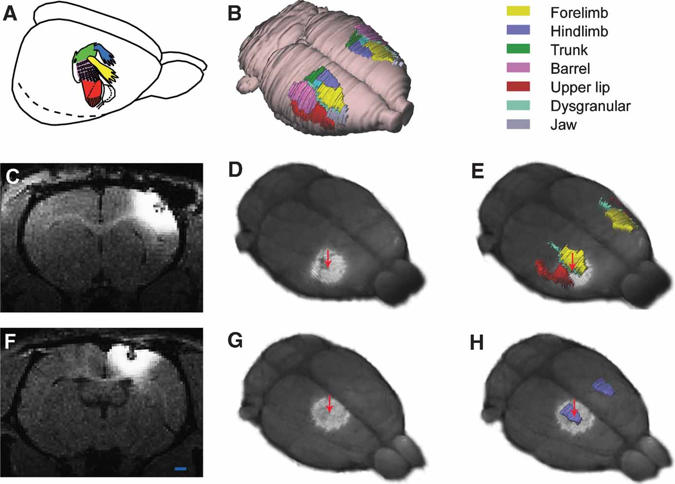 Frontiers Three Dimensional Atlas System For Mouse And