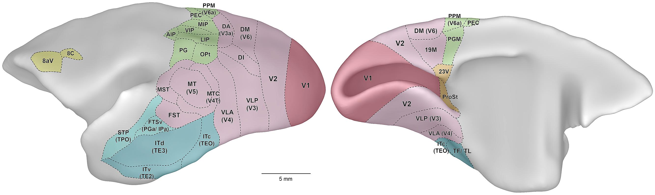 Frontiers | A simpler primate brain: the visual system of the marmoset  monkey | Frontiers in Neural Circuits
