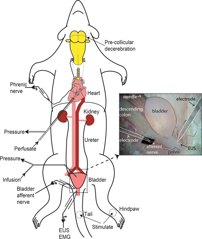 Rat Urethra Diagram - All Kind Of Wiring Diagrams •