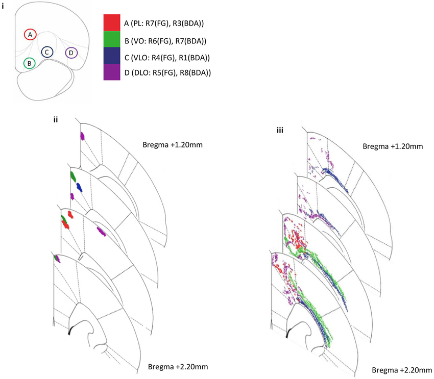 Frontiers The Topology Of Connections Between Rat Prefrontal