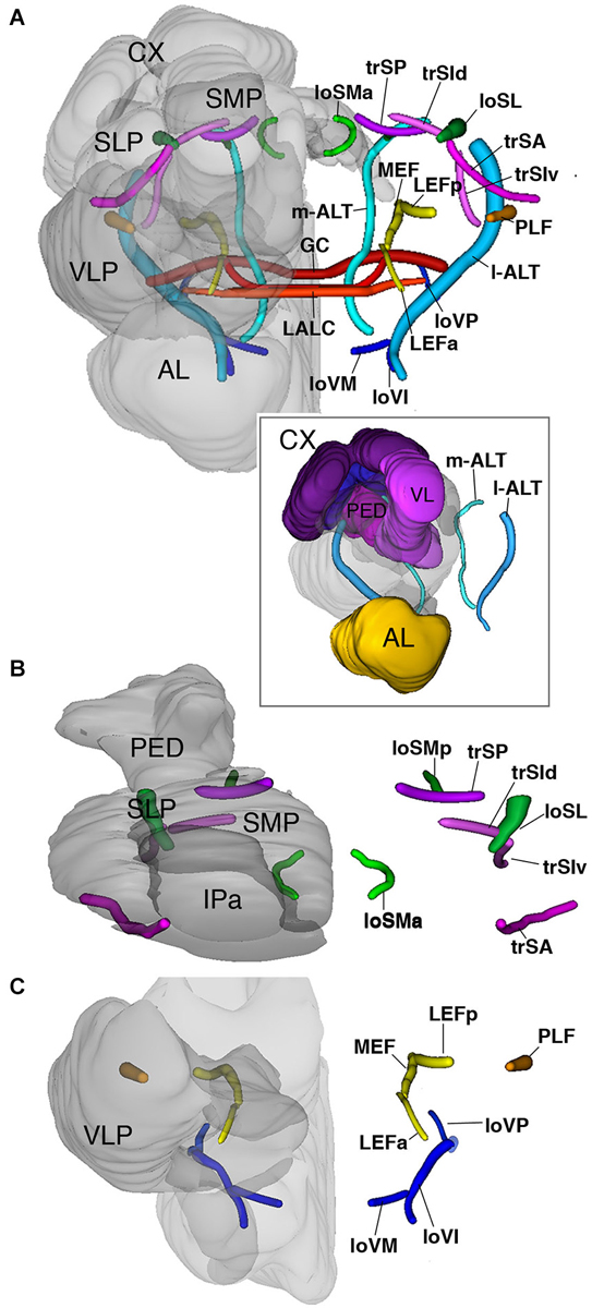 Frontiers | A map of brain neuropils and fiber systems in the ant ...