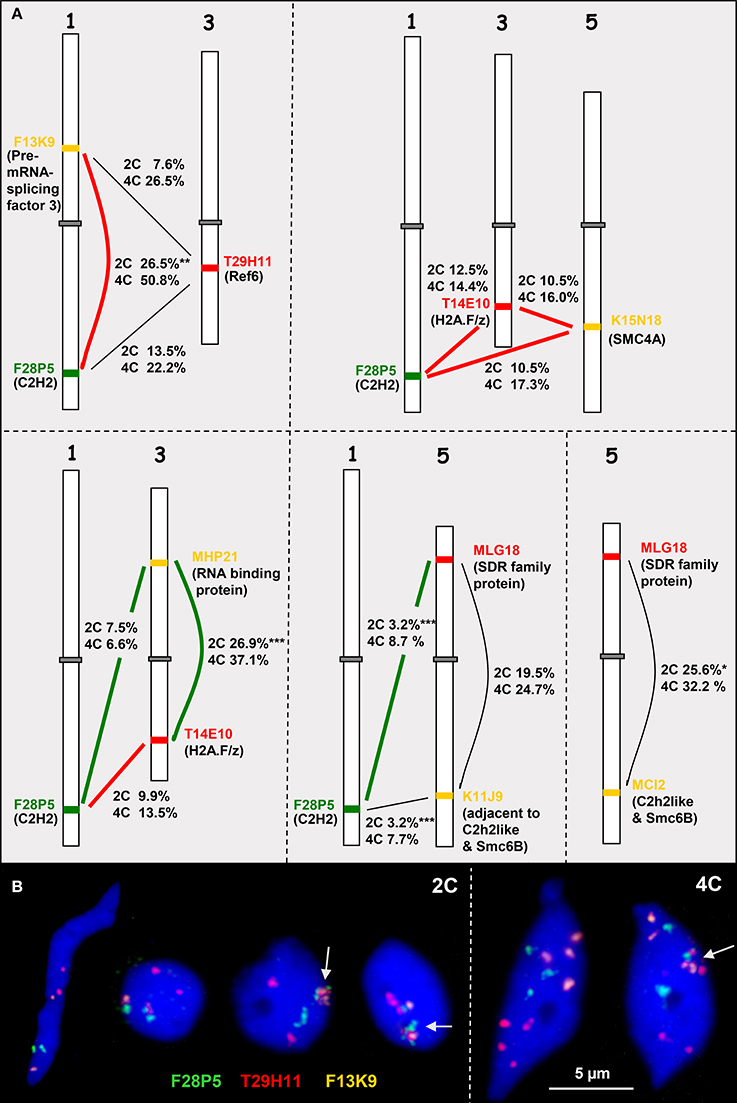 Frontiers Chromatin Associations In Arabidopsis