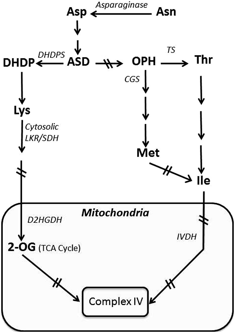 Frontiers the role of photosynthesis and amino acid metabolism frontiersin pooptronica