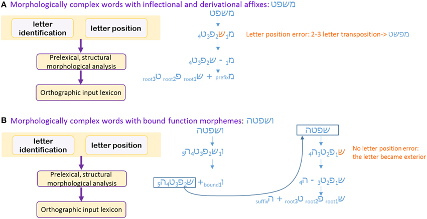 Frontiers Insights From Letter Position Dyslexia On Morphological