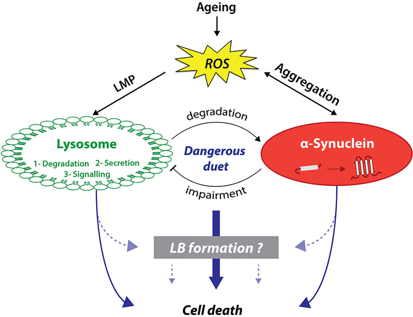 Frontiers Lysosomes And Synuclein Form A Dangerous Duet Leading