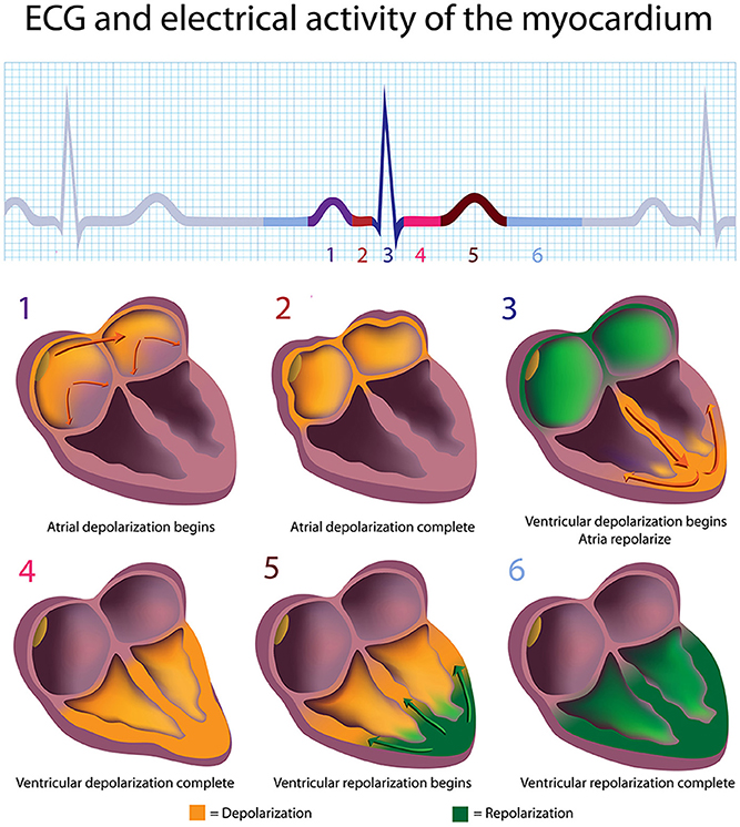 Frontiers A Healthy Heart Is Not A Metronome An Integrative