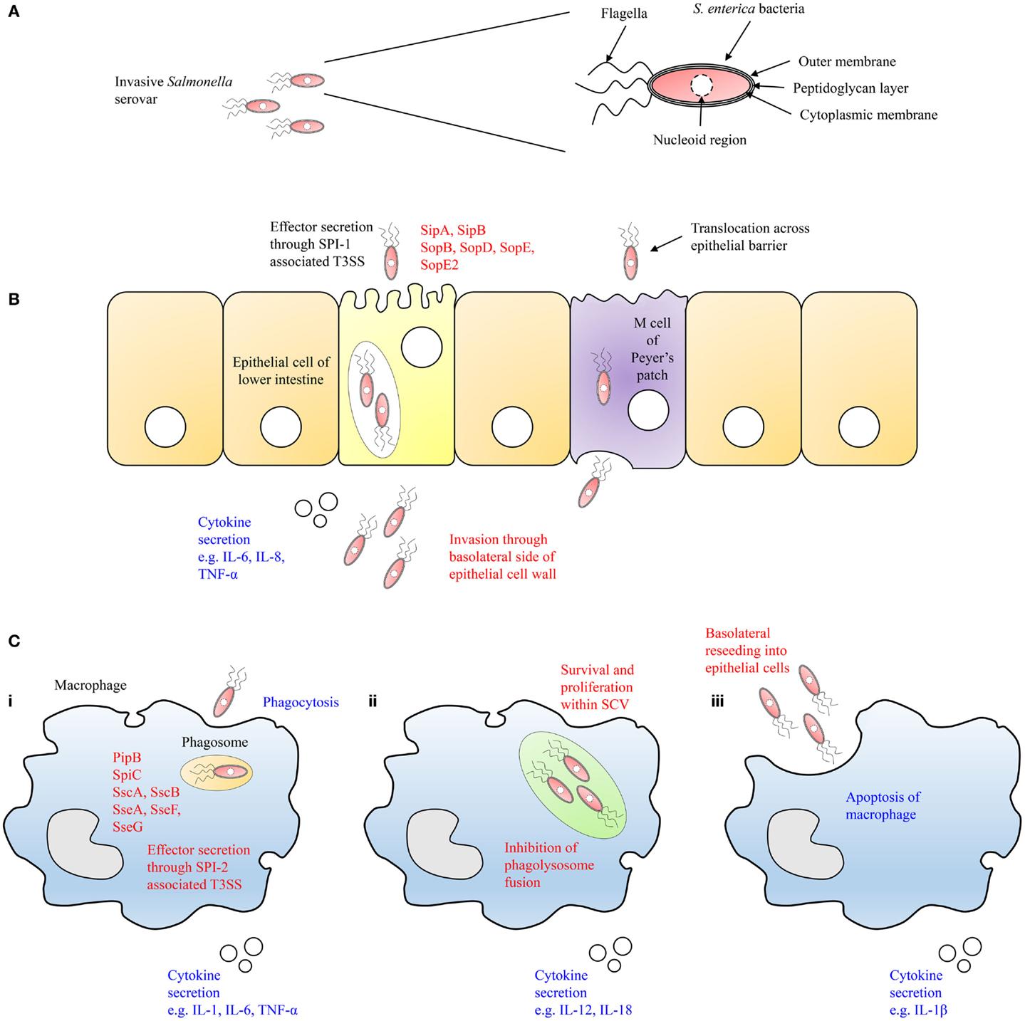 Full on salmonellosis diagram