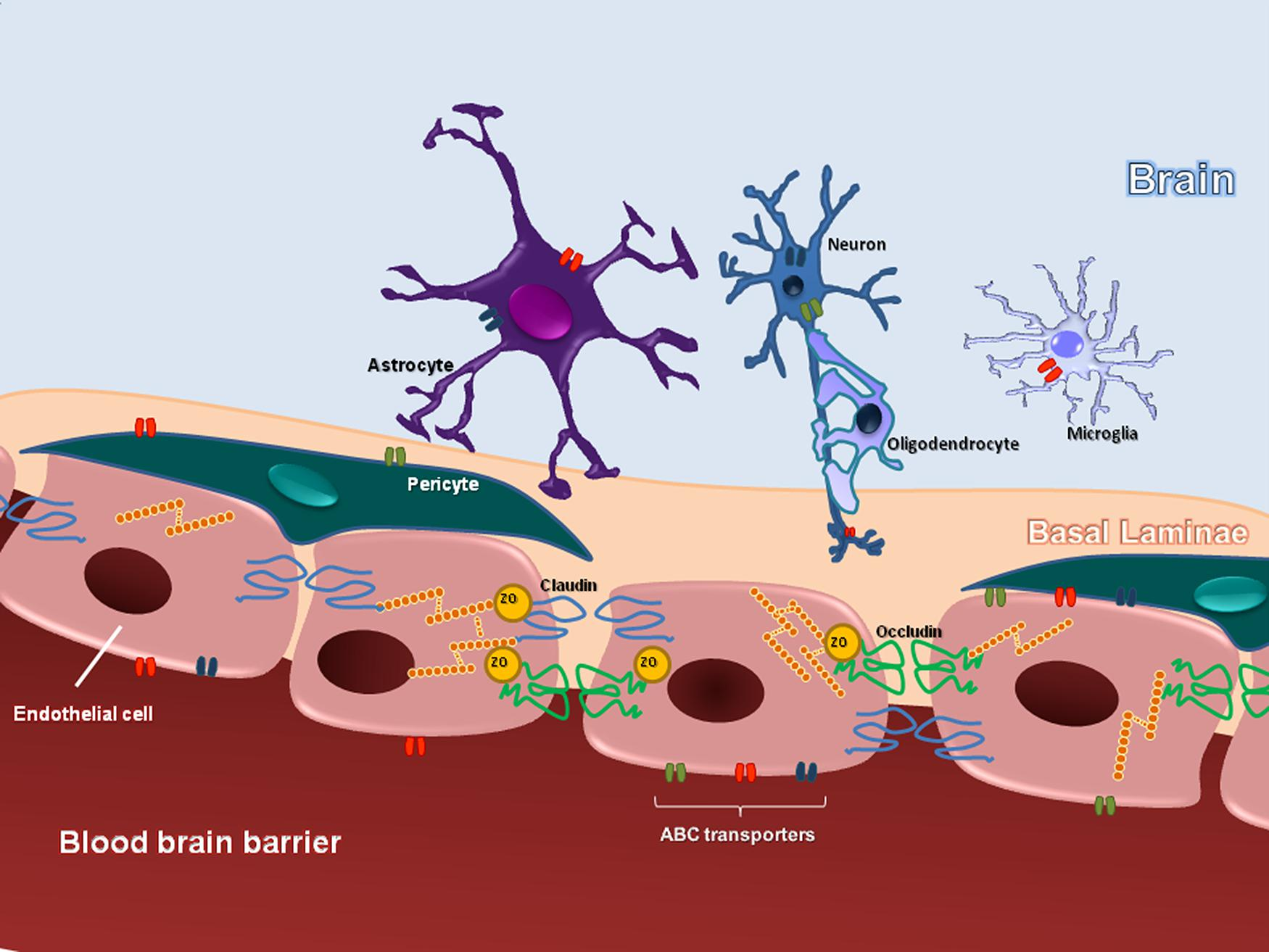 Frontiers | The role of the blood–brain barrier in the development ...