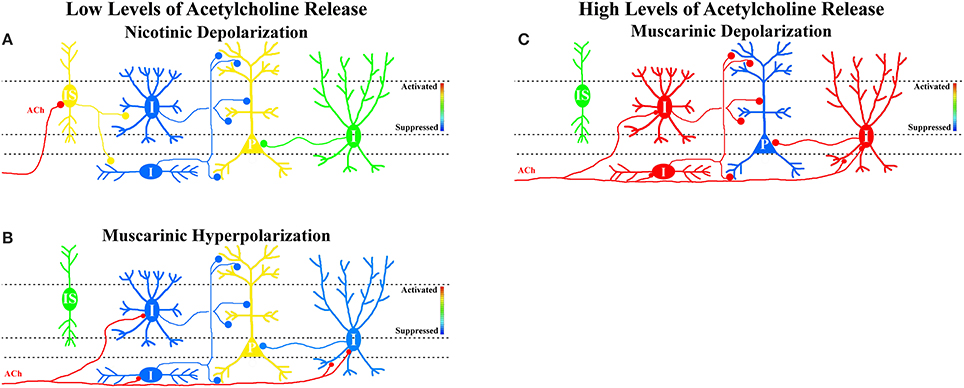 Frontiers | Acetylcholine release and inhibitory interneuron ...