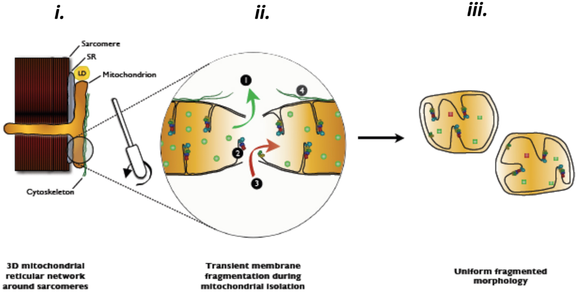 isolation of mitochondria Isolating liver mitochondria by differential centrifugation organelle isolation: functional mitochondria from mouse liver, muscle and cultured fibroblasts nat.