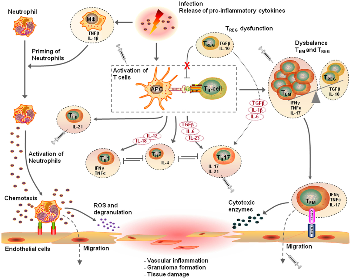 role of inflammation in atherosclerosis