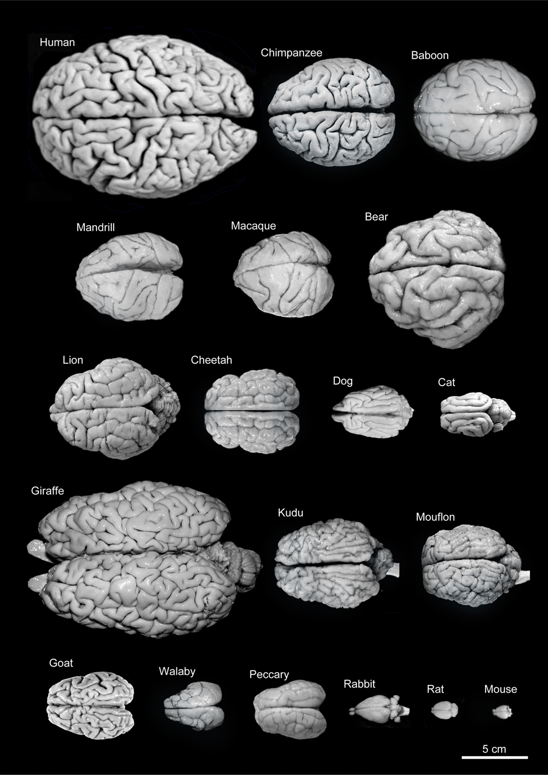 Frontiers | The Evolution of the Brain, the Human Nature ...