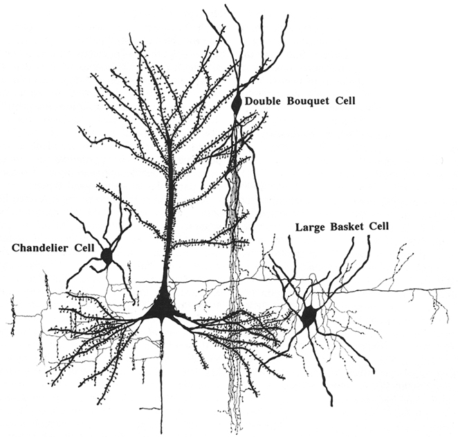 frontiers the evolution of the brain the human nature of cortical Cat Brain Parts frontiersin