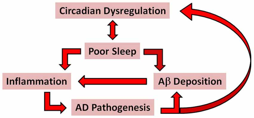 Image result for Circadian alzheimers