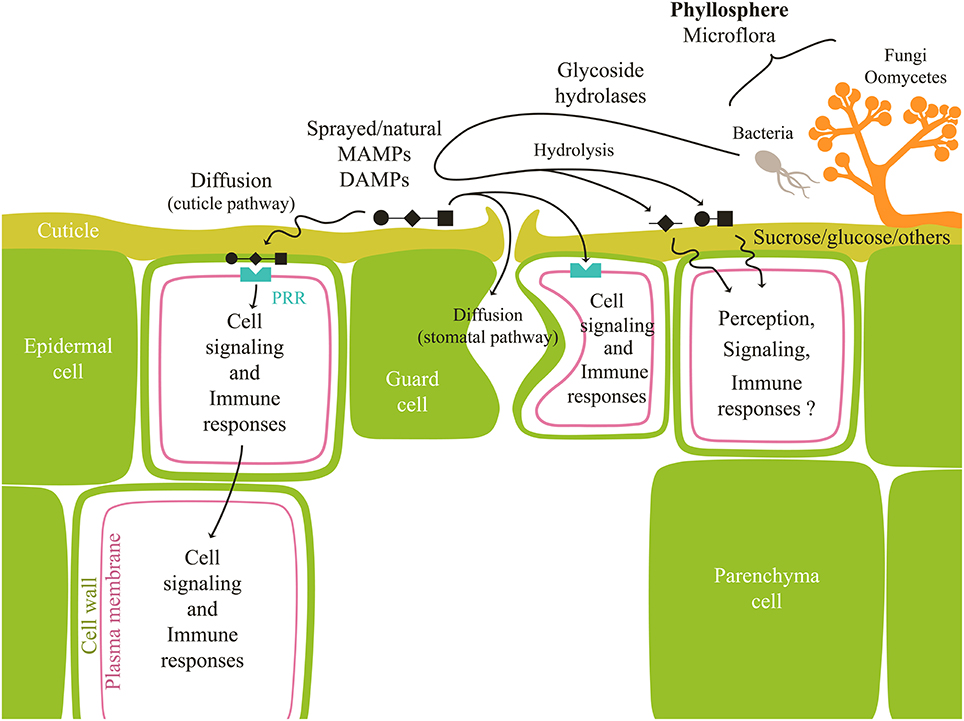 Penetration Of Host Defenses Concept Map.Frontiers Carbohydrates In Plant Immunity And Plant Protection
