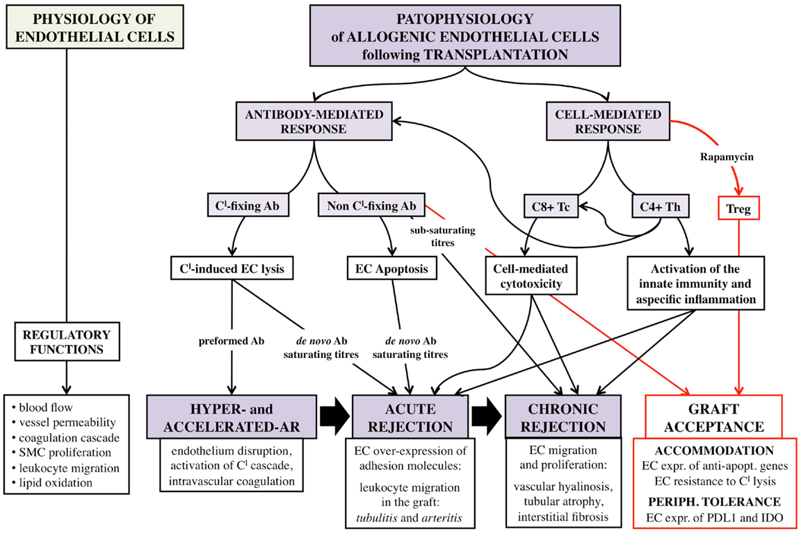 Frontiers Vascular Endothelium As A Target Of Immune Response In
