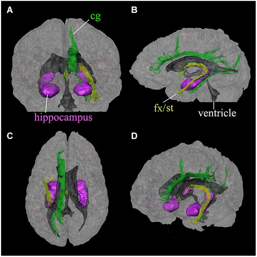 Frontiers | In vivo magnetic resonance imaging of the human limbic ...
