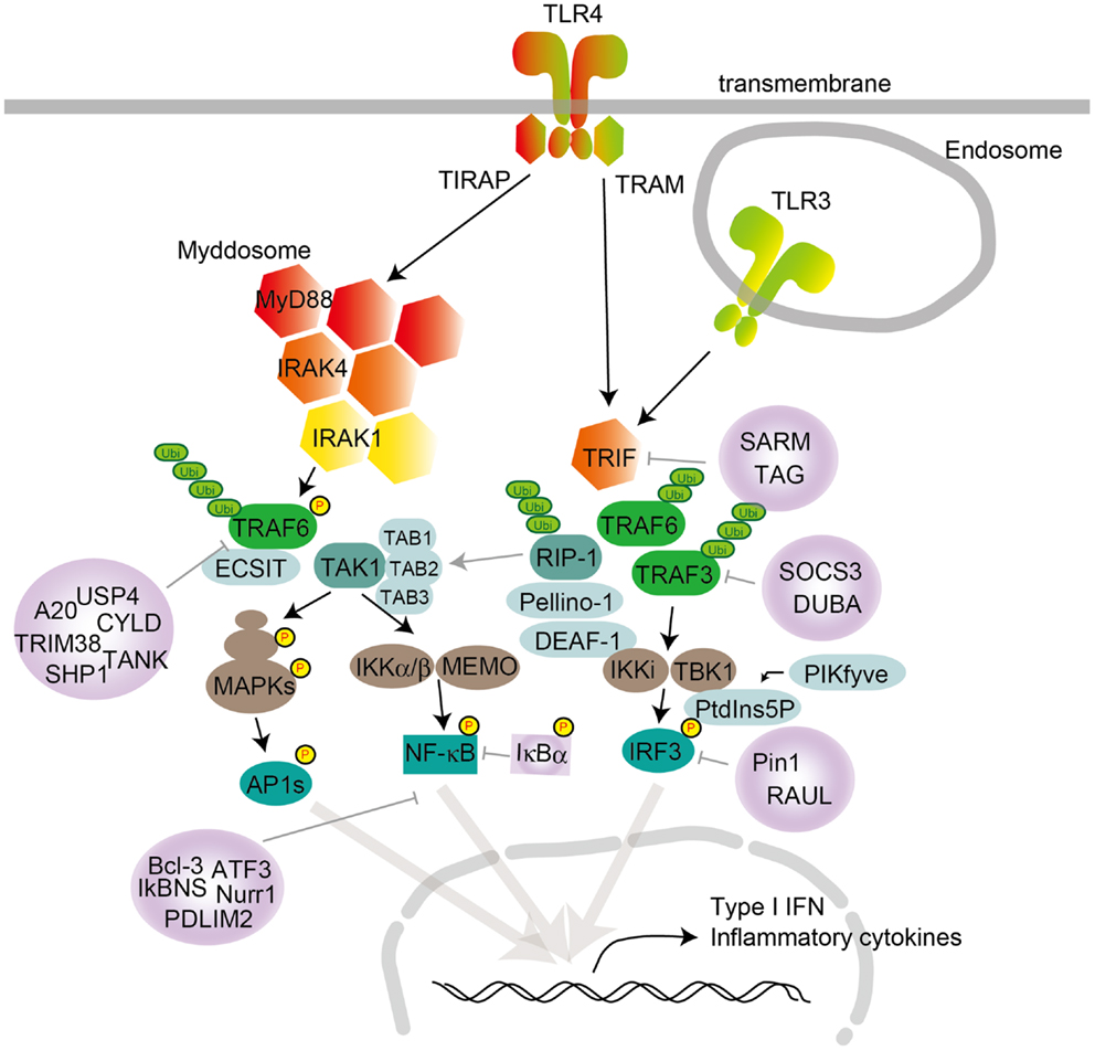 frontiers toll like receptor signaling pathways immunology