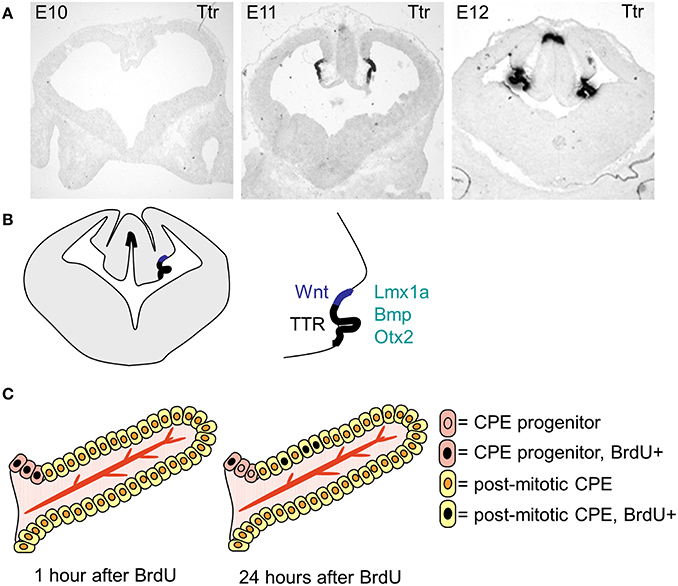 Frontiers The Choroid Plexuses And Their Impact On Developmental
